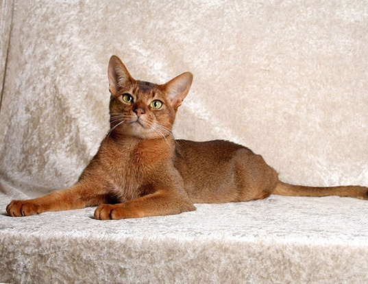 Picture of a abyssinian