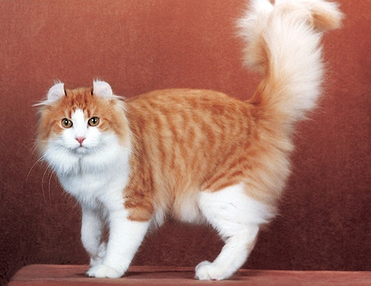 Picture of a american curl