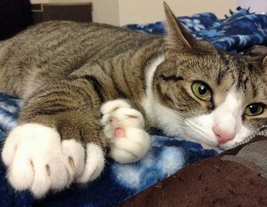 Picture of a american polydactyl