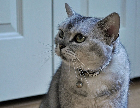 Picture of a american shorthair