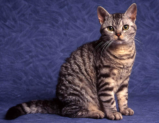 Picture of a american wirehair
