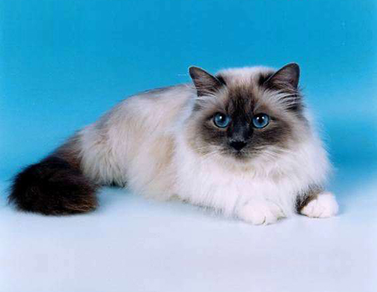 Picture of a birman