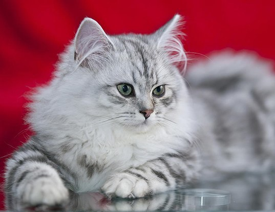 Longhair Cat White Breed