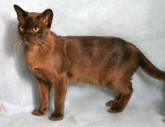 Picture of a burmese