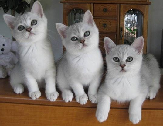 Life expectancy of burmese cat