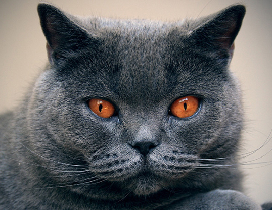 Picture of a chartreux