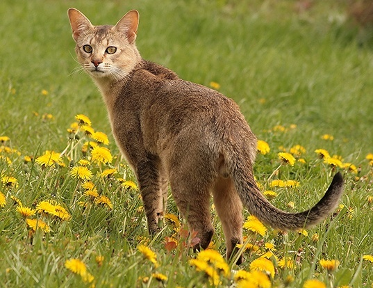 Picture of a chausie