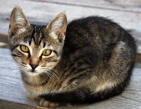 russian blue cat patronus
