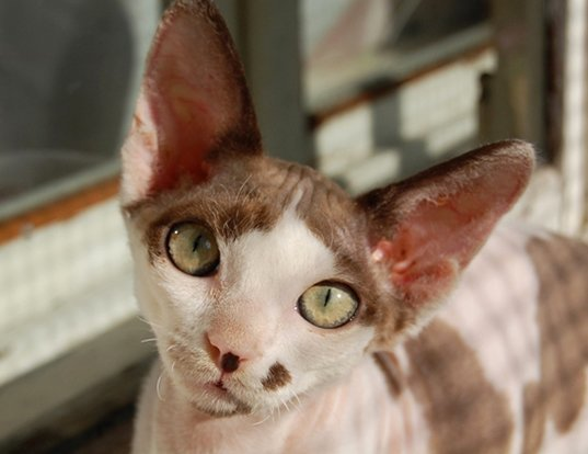 Picture of a devon rex