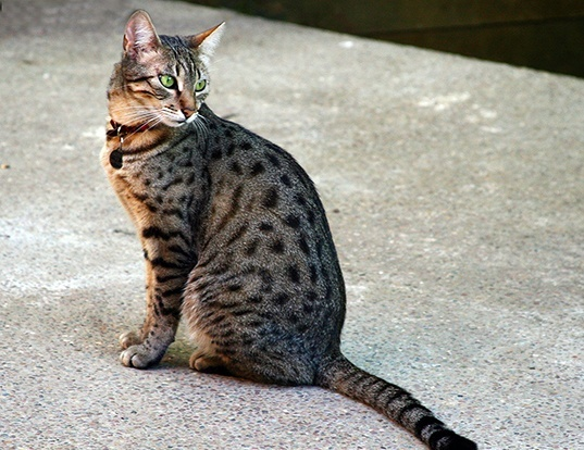 Picture of a egyptian mau