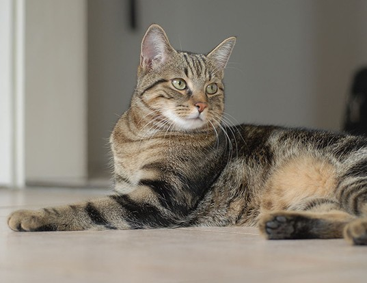 Picture of a european shorthair