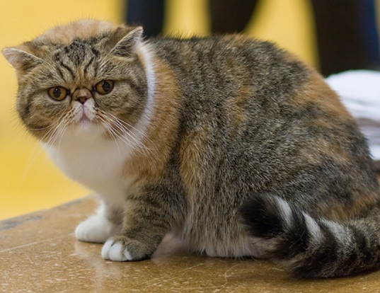 Picture of a exotic shorthair