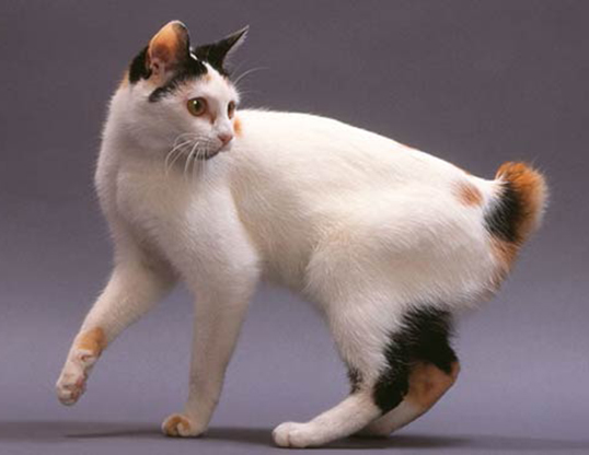 LIFE SPAN OF JAPANESE BOBTAIL
