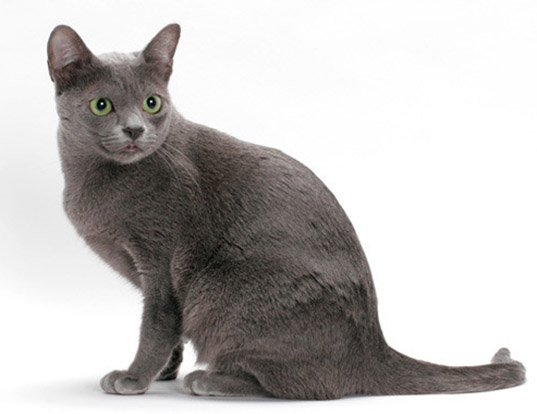 Picture of a korat