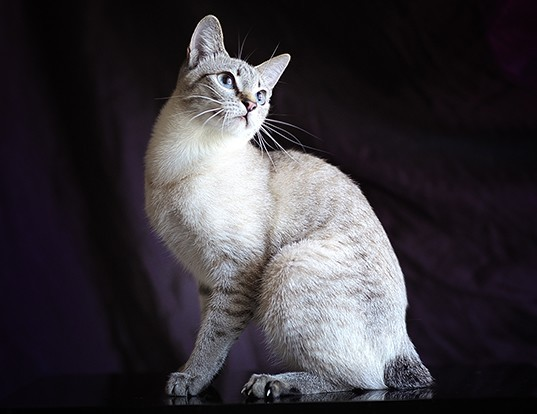 Picture of a mekong bobtail