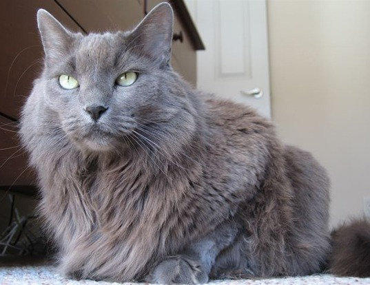 Picture of a nebelung