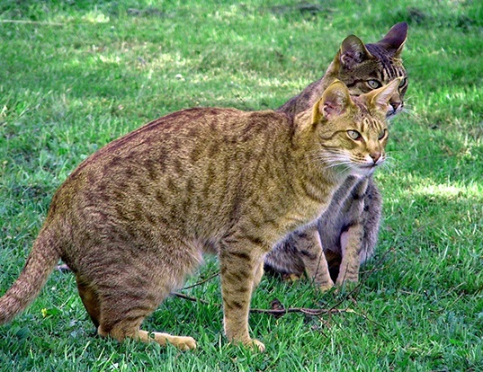 Picture of a ocicat