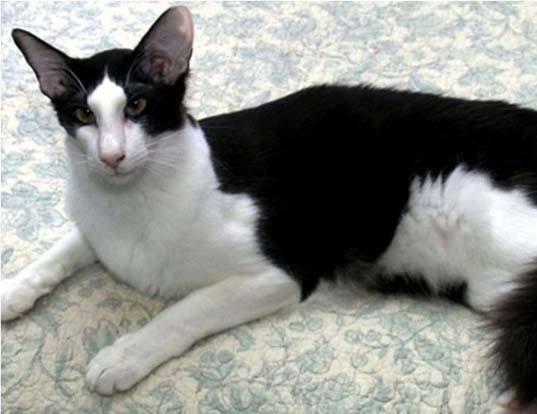 Bicolor Cat Choice Image - Diagram Writing Sample IDeas ... Oriental Cat Lifespan