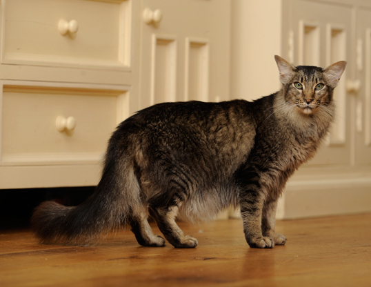 Picture of a oriental longhair