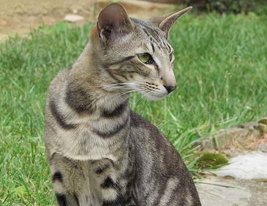 Picture of a oriental shorthair