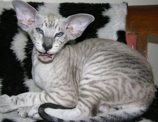 Picture of a peterbald