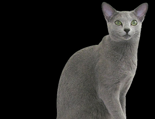 Picture of a russian blue