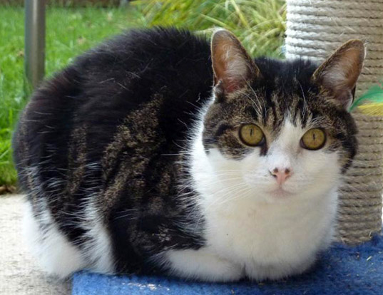 Picture of a russian tabby