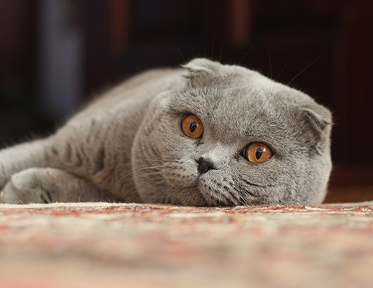 Picture of a scottish fold