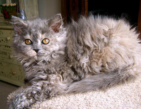Picture of a selkirk rex