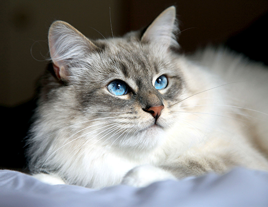 Picture of a siberian