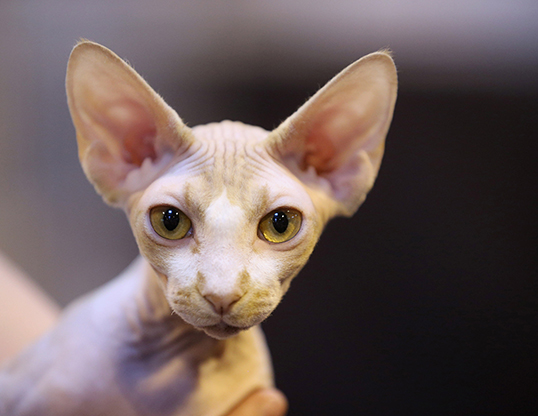Picture of a sphynx