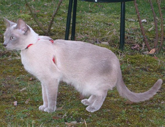 Picture of a tonkinese