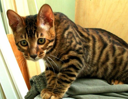 Picture of a toyger