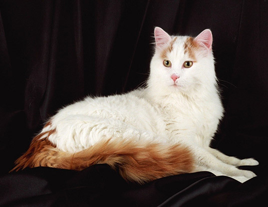 Picture of a turkish van