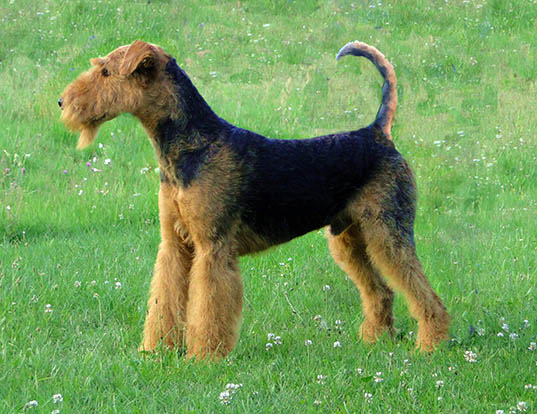 Picture of a airedale terrier