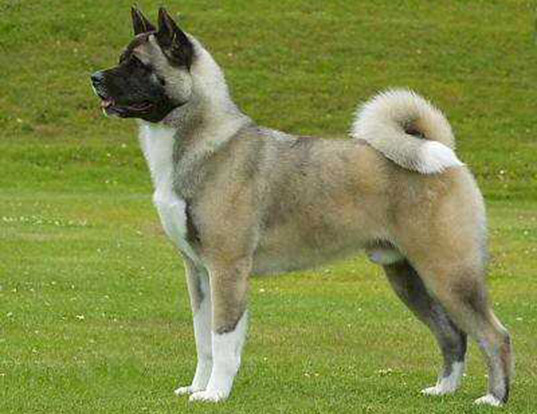 Picture of a akita