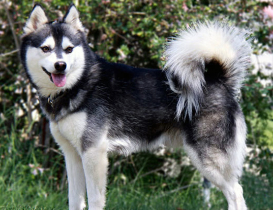 Picture of a alaskan klee kai