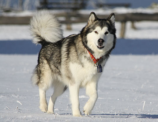 Picture of a alaskan malamute