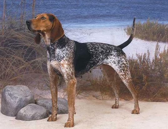 Picture of a american english coonhound