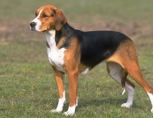 Picture of a american foxhound