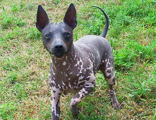 Picture of a american hairless terrier