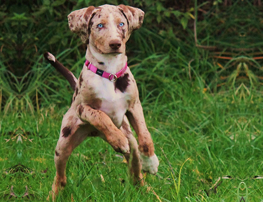 Picture of a american leopard hound
