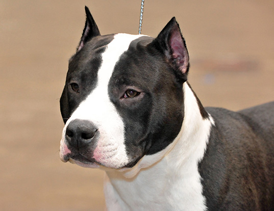 Picture of a american staffordshire terrier
