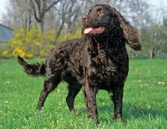 Picture of a american water spaniel