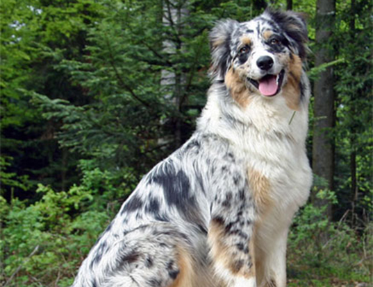 Picture of a australian shepherd