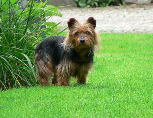 Picture of a australian terrier