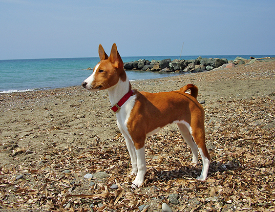 Picture of a basenji