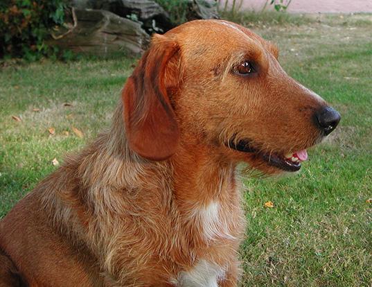 Picture of a basset fauve de bretagne