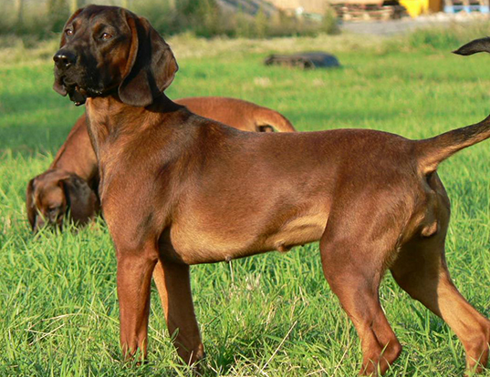Picture of a bavarian mountain hound