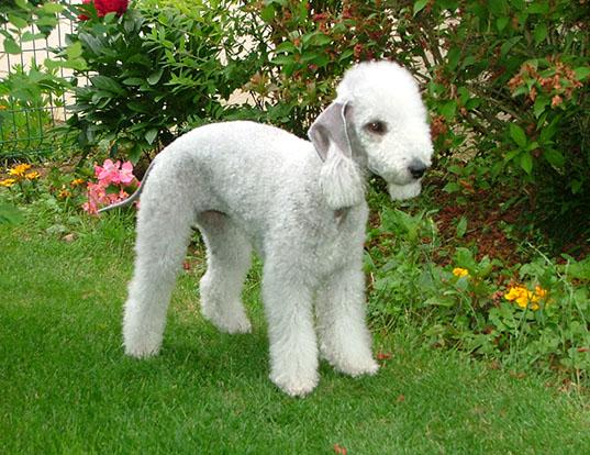 Picture of a bedlington terrier